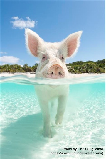 What We Can All Learn About Selling . . . From A Pig, By