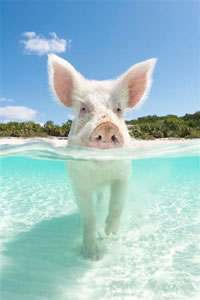 What we can all learn about selling . . . from a pig.