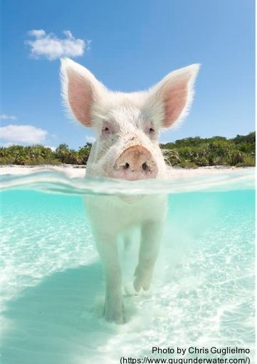Pig Island: An Accidental Sales Story